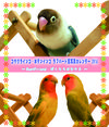 コザクラインコ・ボタンインコ ラブバード鳥写真カレンダー2014~Best Friend ぼくたちはなかま