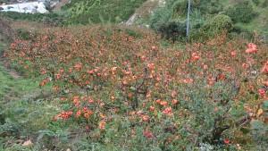 伊方原発再稼働阻止%u3002八幡浜市に%u3002富士柿の産地、美しい!2015年11月